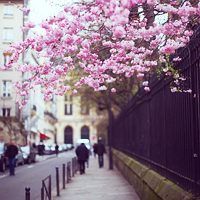 sakura in Paris